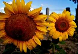 Autumn sunflowers in Prince Edward, ON: Photo by Jack Tweedy