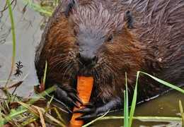 Hungry beaver chomping away. Photo by Jim Middleton