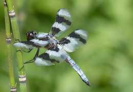 Dragonflies are out in full force to protect you from mosquitoes. Photo by Mark Windsor