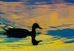A duck at dusk. Courtesy: Kevin Van Ulden