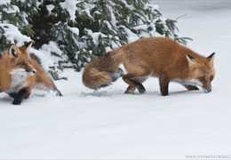 Fox Trot: Photo by Raymond Barlow