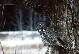 The Great Grey Owl of Thunder Bay: Photo by Suzanne Sgambelluri