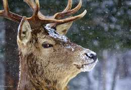 It's caption time, tell us what this elk is thinking: Photo by Wendy Cotie